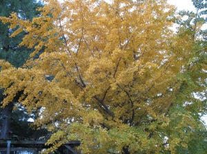 Ginko tree. Photo courtesy of Catherine McMurtry.