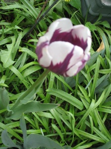 A different colored tulip. Photo courtesy of Catherine McMurtry.