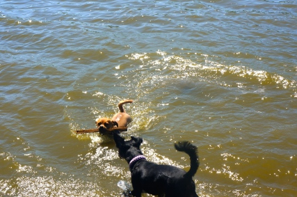 Whitney and Tri Tran's dogs, Tyson and Lili. Tyson discovered how fun it is to fetch a stick in the water! Lili enjoyed taking it from him when he got out of the water! Photo Credit/Denise Gilliland, Editor and Chief, Kat Country Hub.
