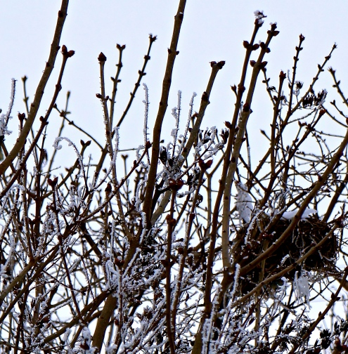 A bird's nest can be seen to the right in this bush with frost all on it and all the branches. Photo Credit/Denise Gilliland, Editor and Chief, Kat Country Hub.